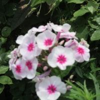 今朝のボーダー花壇 2017.6.23