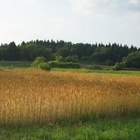 小麦の収穫適期