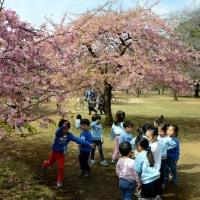 代々木公園の河津桜・・3