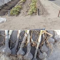 17年06月21日 ニンニク・タマネギ収穫