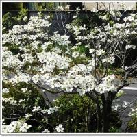 咲いております 白と赤