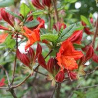 「おはようの花」 エクスバリー・アザレア 5月