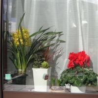 花の日光浴・・・プリムラポリアンサが2鉢増えました♪