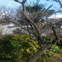 梅の花と茶色の猫