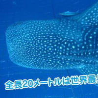 ○ Whale shark :MO MOBEE return to a sea. // ももべえ海へ帰る