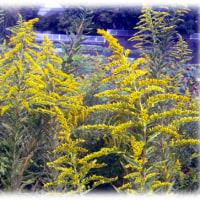 秋の花(^^♪花言葉は、元気、生命力「セイタカアワダチソウ」