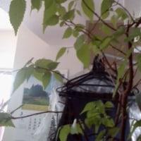 ケヤキの芽