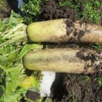 野菜畑のこと2