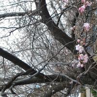 今日は、もう新春の桜