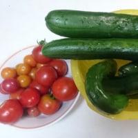キュウリとミニトマト収穫