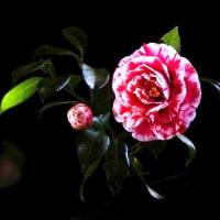 椿 (花 4309)