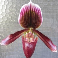 Paph Hassallii 'Saint Mary'