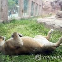 ライオンの面子と韓国語