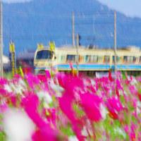 近江八幡のコスモス