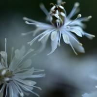 セリバオウレンの花