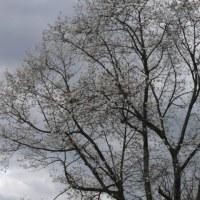 奥州市江刺区岩谷堂のコブシ(辛夷) 2017年4月23日(日)