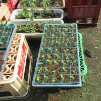 レタスが植えられるようになりました。