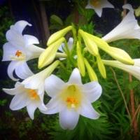 我が家の庭で今年もテツポウユリが見事に咲きました(*^_^*)