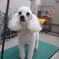 トリミング犬ご紹介 フォト10枚
