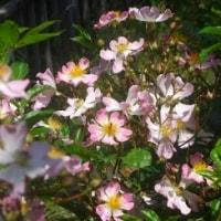 庭のツクシイバラが咲き始める