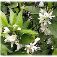 ミカンの花咲くころ(^^♪蜜のように甘く、柑子と呼ぶことから「蜜柑」