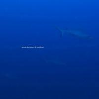 サメの海・・・・モルディブ3日目