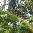 里山に漂うゆりの香かぐわしき