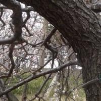 保土ヶ谷公園の梅の状況