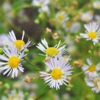 クチナシの花咲く