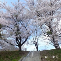 平成29年4月20日(木)  桜さくら♪ ②