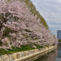 大阪城の桜探訪p1(GX7mk2x17mm and D810x18-35mm)