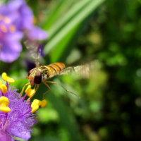 オオツユクサの花にハナアブ