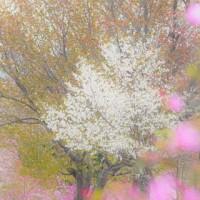 桜前線がようやく弟子屈に到着。