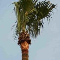 椰子の葉を切ったの見たことある。