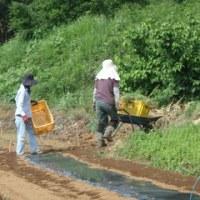 2017年5月27日(土) エンドウの撤去 森フェス準備