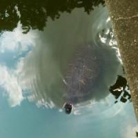 ミシシッピアカミミガメのゼニボン