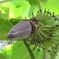 バナナ&バナナの花