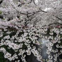 「目黒川の桜」/中目黒(2017春)