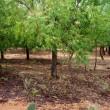 ニーム 21世紀の木-593 アーユルヴェーダで自然治癒力を高める