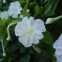 花のリレー オシロイバナ