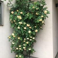 レモンちゃん