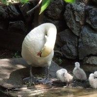 白鳥にヒナが生まれていました