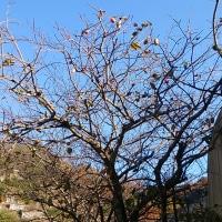 勤労感謝の日に 鈴なりに実った大枝の柿を採る