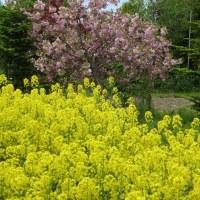 滝川菜の花畑幸せ色に包まれて♪