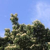 クマノミズキ(熊野水木)の花