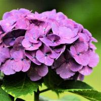 今日の野鳥   サシバ・アジサイの花