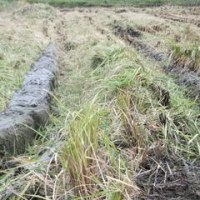 H28年 稲刈りほぼ終了