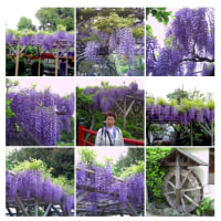 20060429亀井戸天神。素晴らしい色の藤の花です。
