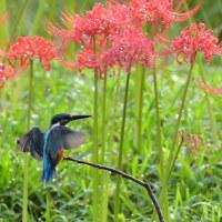 今日の野鳥・・・カワセミ・・・彼岸花が満開。。