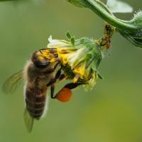 キンケハラナガツチバチ/ミツバチ/キゴシハナアブ/オオハナアブ/シマハナアブ